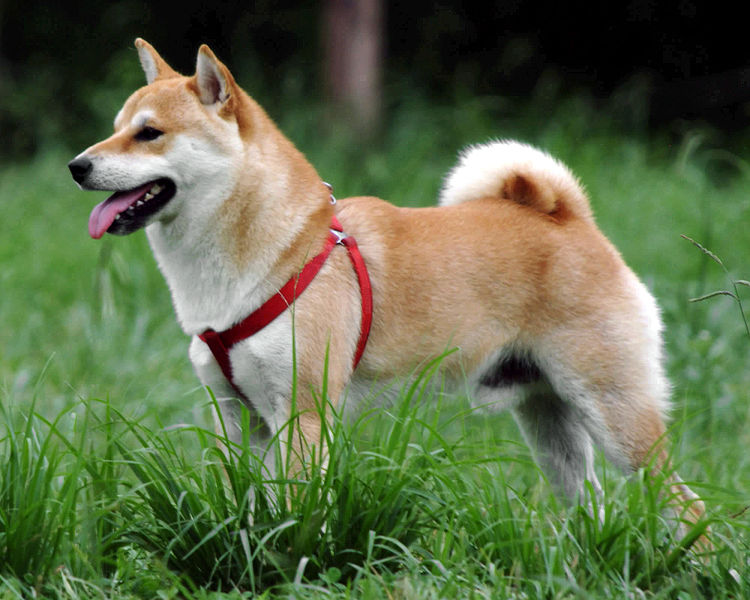 IMAGE(http://colorgenetics.info/sites/default/files/750px-Shiba_Inu.jpg)