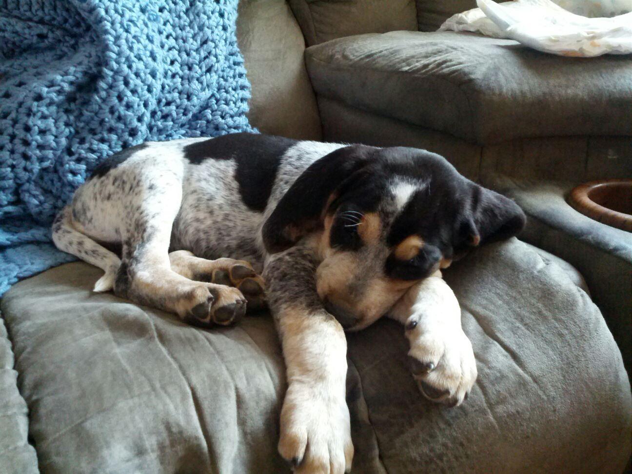 Bluetick Coonhound Puppy Color Genetics
