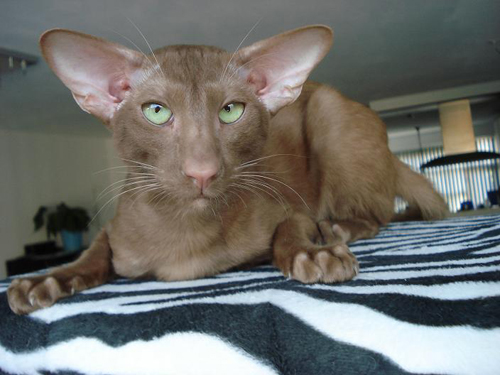Dilutions and Modifiers of Coat Color in Cats | Color Genetics