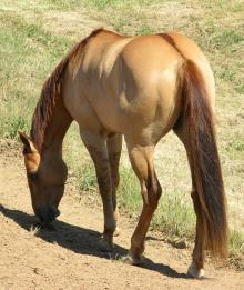 dorsal stripe on a red dun horse