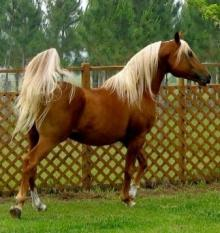chesnut horse with flaxen