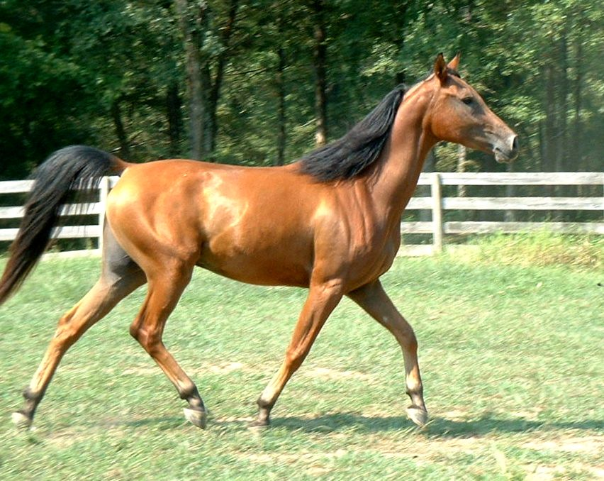 bay horse coloring pages - photo#25