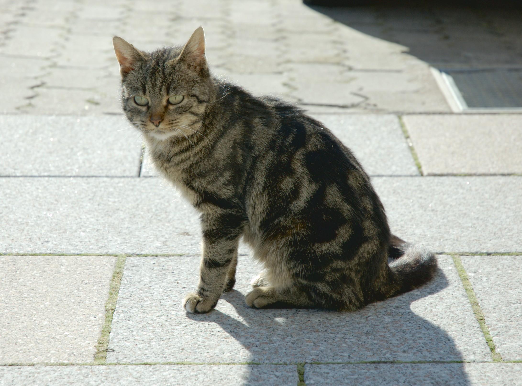 Prophet Muhammad Cat Breed