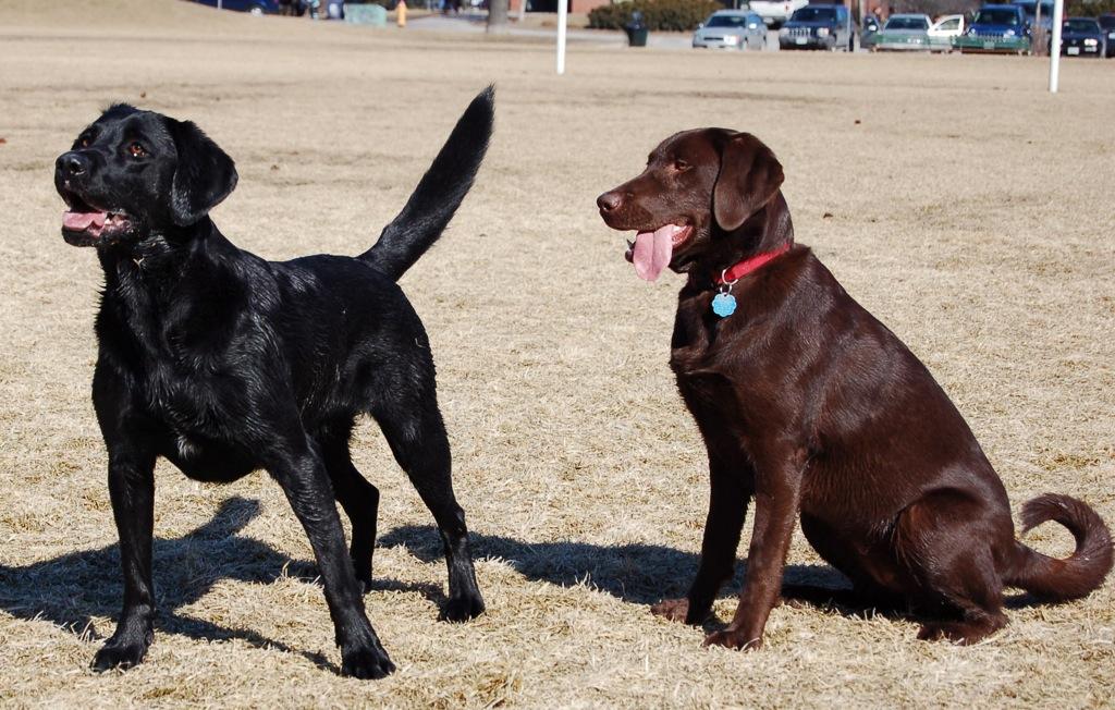 Black and Chocolate (Brown) Labrador Retrievers Photo from ...