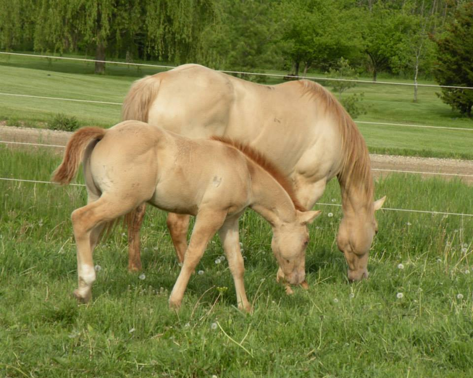 Gold Champagne Horse Gold Champagne Dun Mare And