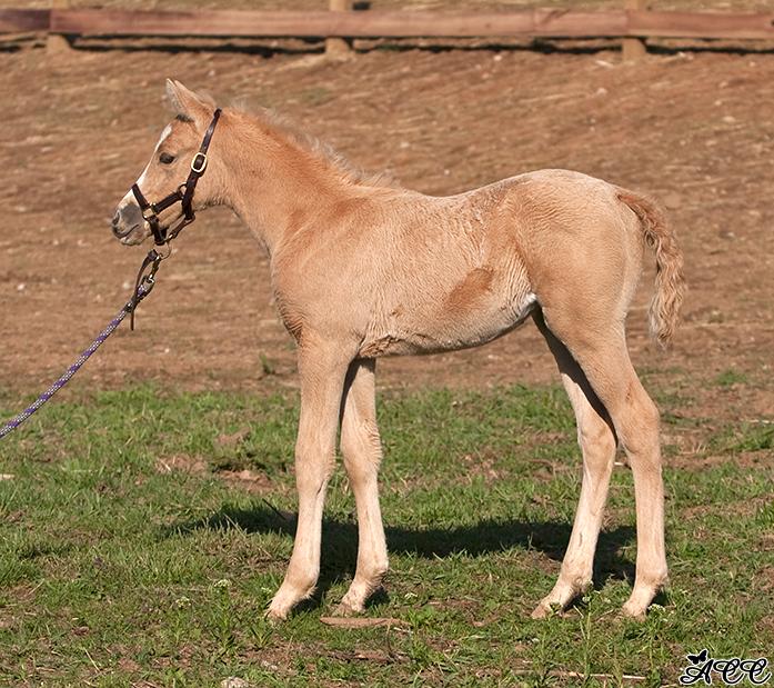 palomino horse color - photo #13