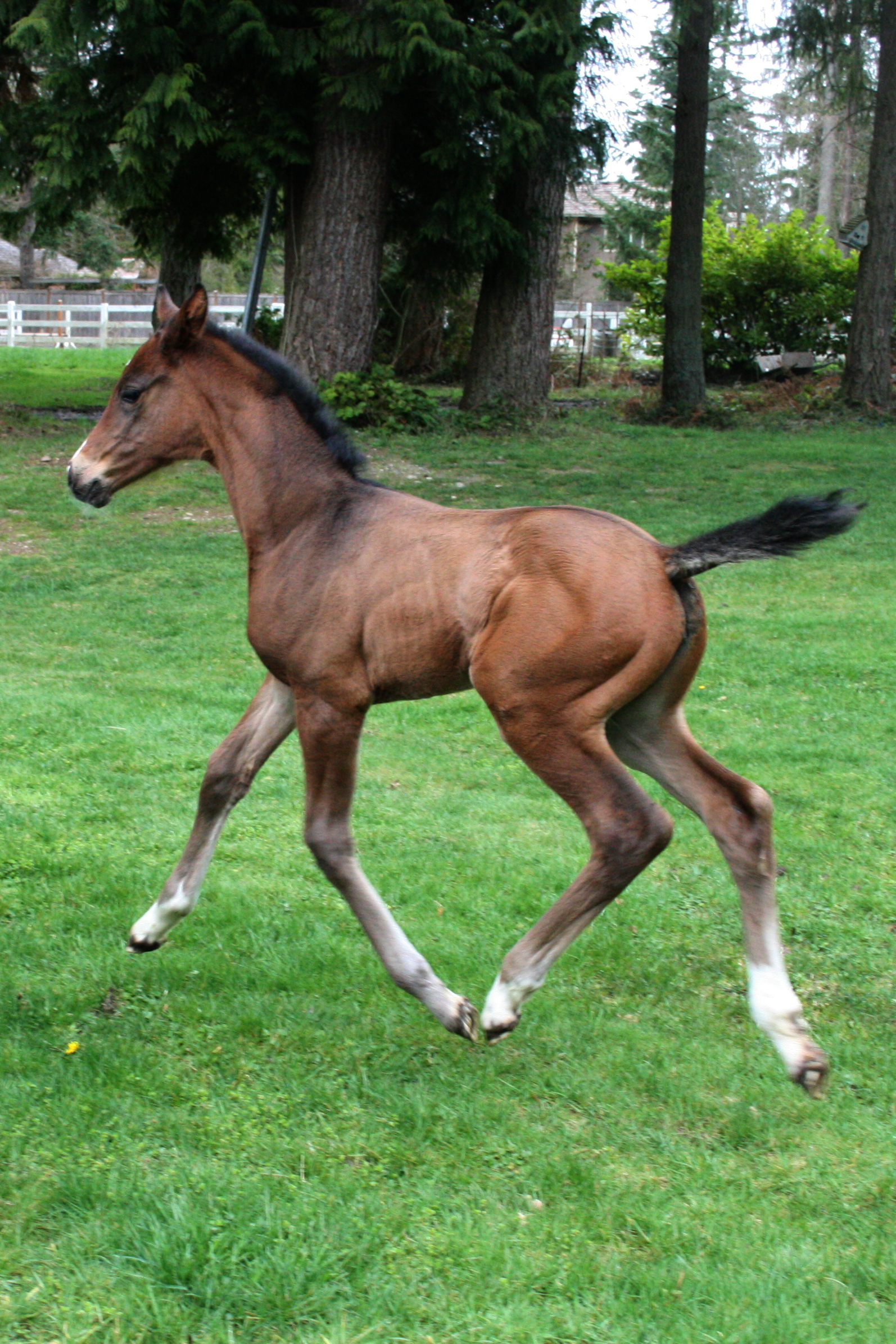 The Enigmatic Brown Horse Color Genetics