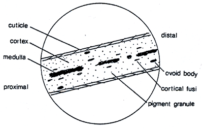 23047 also Ge ics as well Horse Hair Under Microscope Descriptive Report also Animal Cell Drawing With Labels additionally The basics of mitosis. on animal cell labeled