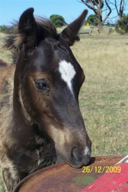 A black foal with a faded muzzle