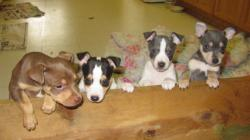 4 of the 5 pups from the example litter showing their white patterns