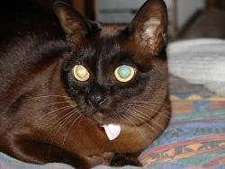 Burmese colored cat