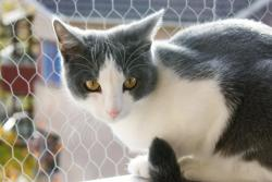 An example of Piebald Spotting in cats