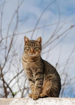 A Mackerel Tabby cat