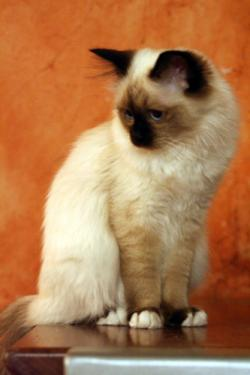 White Gloves in a Birman Kitten