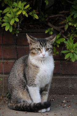A Ticked Tabby Cat with residual markings