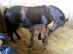 brown foal with black dam