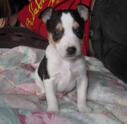 piebald white dog, pup one from example litter