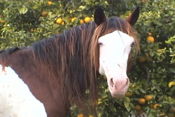 Bald face of an Splashed White Abaco Horse