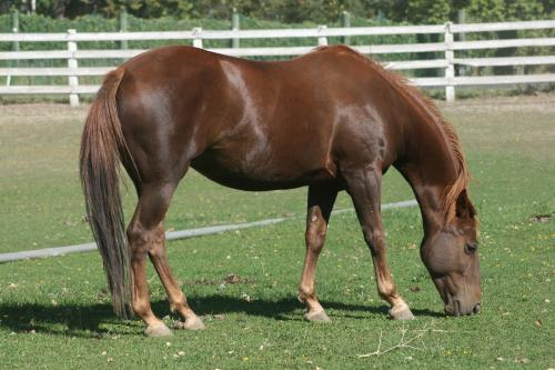 Chestnut Quarterhorse