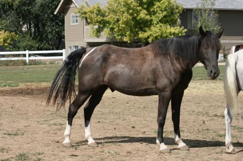 Black (tobiano) Tennessee Walking Horse
