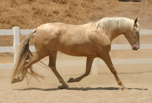 Guindaleza Trotting as an adult