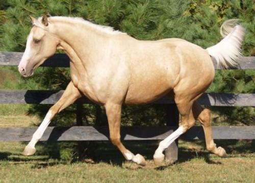 Palomino Thoroughbred mare