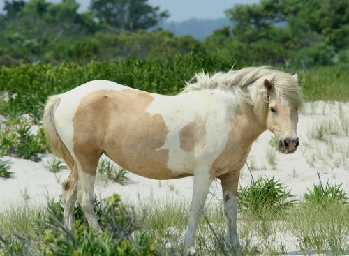 Wild Pony at Assateague