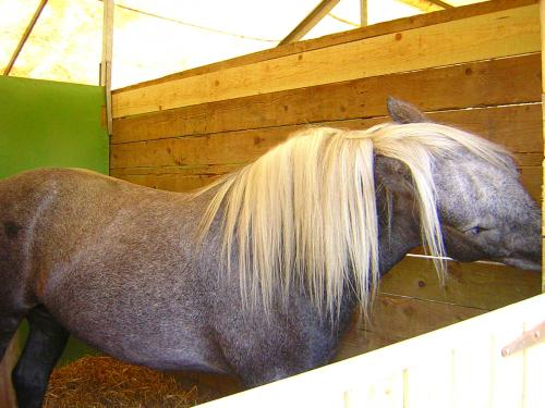 Greying Highland Pony