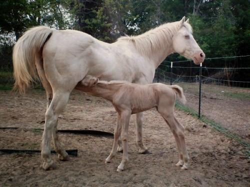 cremello mare with palomino foal