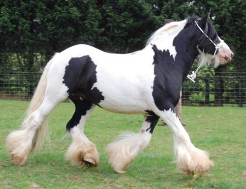 Map Stallion with tobiano and splash markings