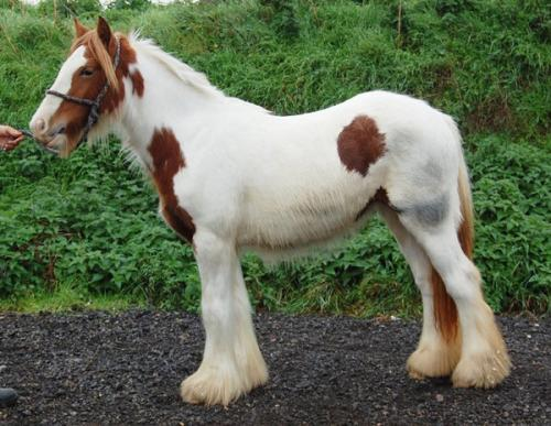 Vines Oak Leaf Filly Chestnut and white filly with tobiano/splash, possibly sabino patterns