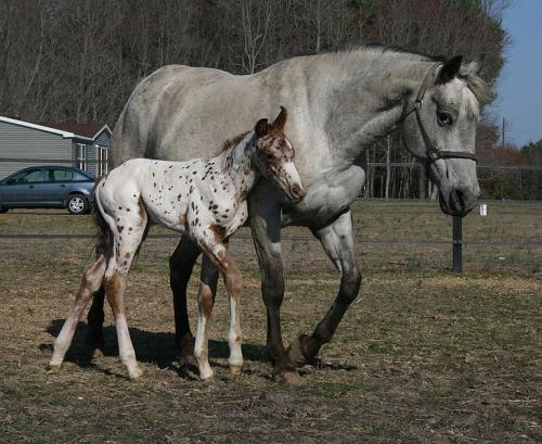 Appaloosa Mare with Foal