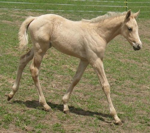 palomino thoroughbred filly