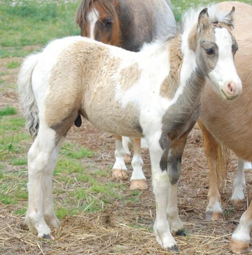 Tobiano with splash foal (horse)