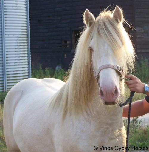 Pearl Gypsy Stallion