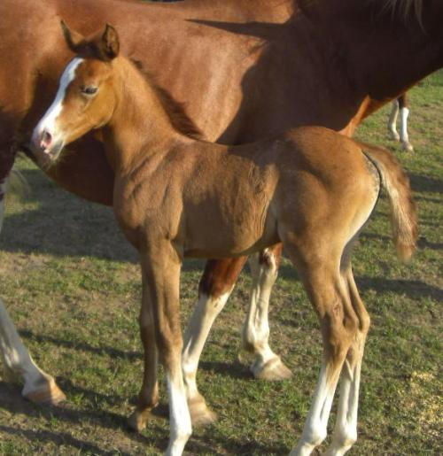 STM Tiempo chestnut foal going gray