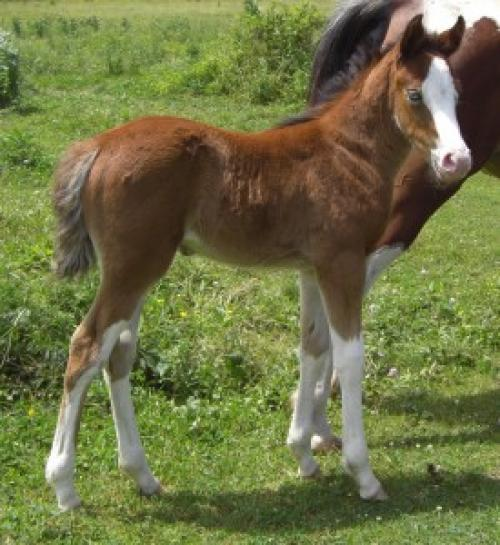 STM Blue Dharma part-bred Arabian with Splashed white markings