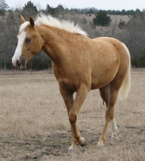 palomino filly (horse) at 20 Months
