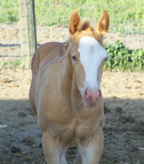 2011 Gold Champagne AQHA Filly