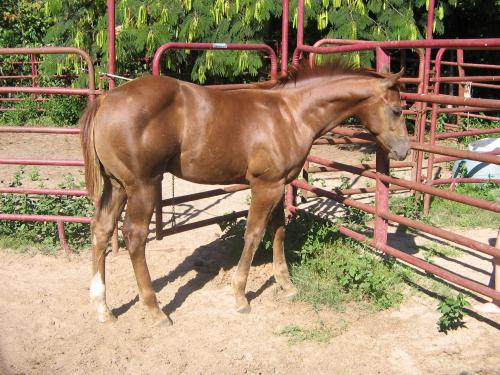 Chestnut AA colt