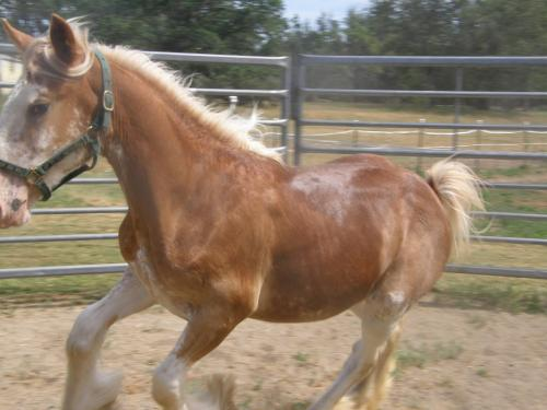 Clydesdale Filly eeAA