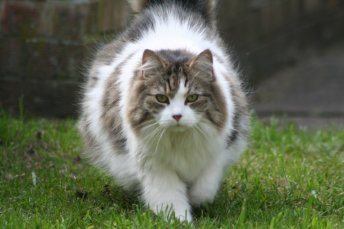Long haired cat with piebald spotting