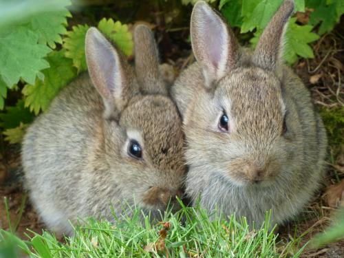 "Wild Rabbits Showing the ""Wild-Type"" color"
