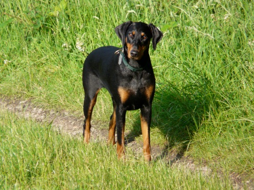 A black and Tan Dog