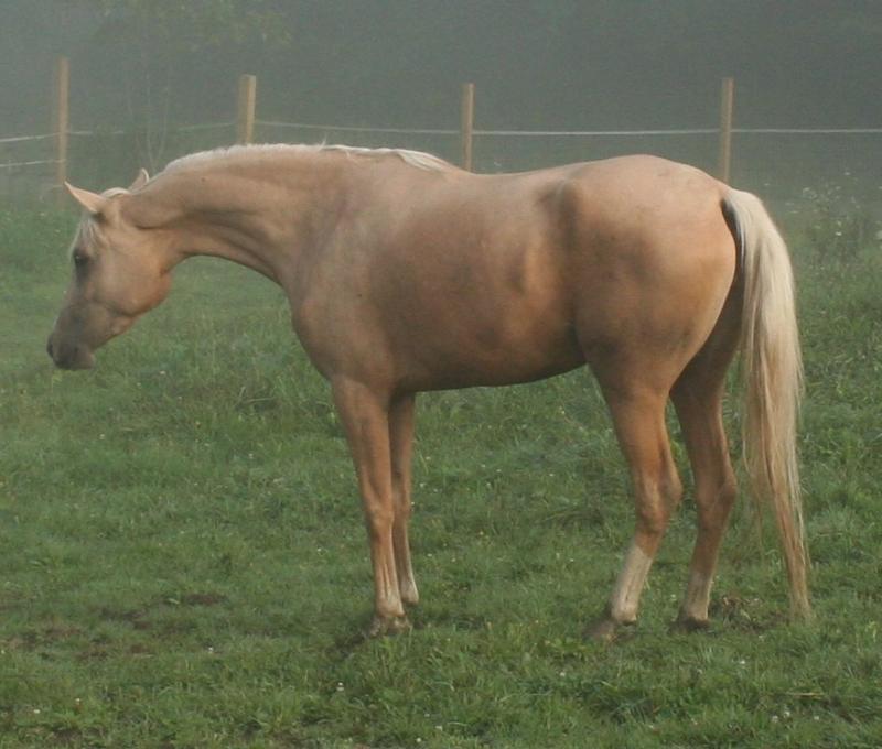palomino 1/2 Arabian mare