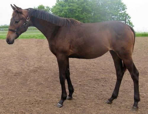 brownskin/smokey brown colt