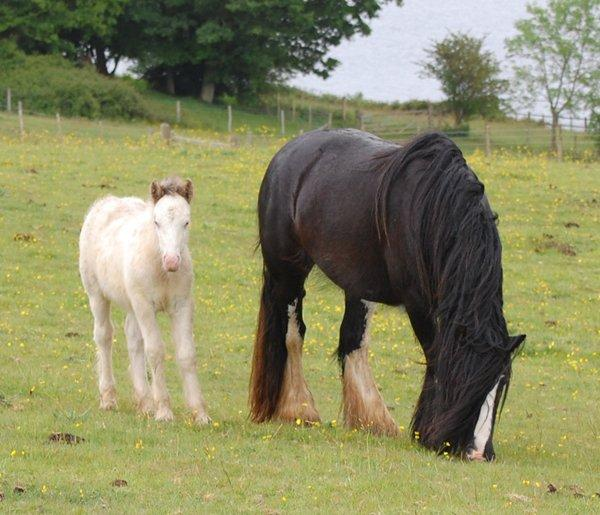 Vines Black Broodmare with Foal