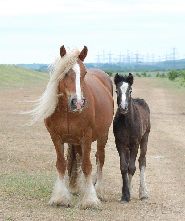 Nobby Mare + Liquorice Filly