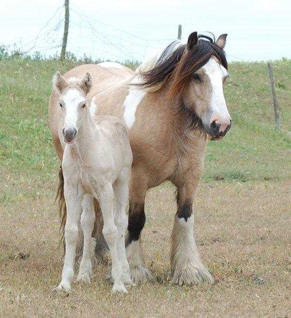 palomino foal with buckskin dam