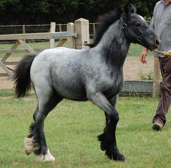 Vines Blue Roan Filly